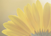Gerbera Art - Gerbera Daisy-Yellow by Jessie Gould