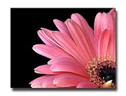 Chris Anderson Posters - Gerbera Encore Poster by Chris Anderson