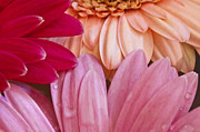 Pretty Flowers Photos - Gerbera Impressions by Margie Hurwich