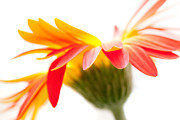 Snug Digital Art Prints - Gerbera Mix Crazy Flower - Orange Yellow Print by Natalie Kinnear