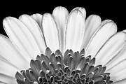 Monochrome Framed Prints - Gerbera Rising Framed Print by Adam Romanowicz