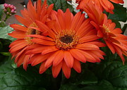 Gerbera Daisy Paintings - Gerbera Splendour  by Jo Appleby