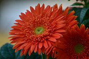 Zach Edlund Art - Gerbera by Zach Edlund