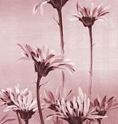 Gerberas Print by Natasha Denger