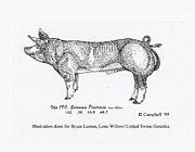 Pen  Pyrography Prints - German Pietrain Boar Print by Larry Campbell