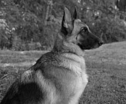 Alsatian Framed Prints - German Shepherd - B/W Framed Print by Sandy Keeton