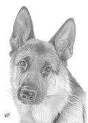 Shepherd Drawings - German Shepherd by Chris Cox