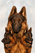 Alsatian Photos - German Shepherd Collage 2 by Sandy Keeton