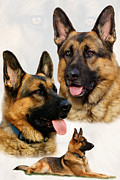 Veterinary Posters - German Shepherd Collage Poster by Sandy Keeton