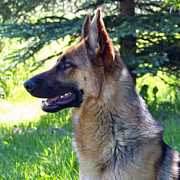 Tracking Posters - German Shepherd Dog Female Poster by Karon Melillo DeVega