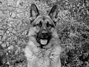 Shepherds Posters - German Shepherd Dog in Black and White Poster by Sandy Keeton