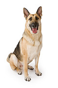 German Shepherd Dog Isolated On White Print by Susan  Schmitz