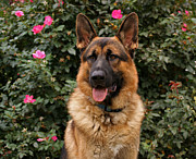 Alsatian Posters - German Shepherd Dog Poster by Sandy Keeton