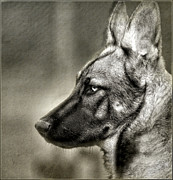 German Shephard Prints - German Shepherd  Print by EquusPix Photography