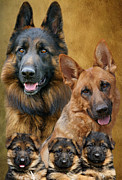 Alsatian Framed Prints - German Shepherd Family Collage Framed Print by Sandy Keeton