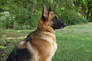 Indiana Art Prints - German Shepherd Profile Print by Sandy Keeton