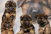 Alsatian Framed Prints - German Shepherd Puppy Collage Framed Print by Sandy Keeton