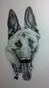 Michelle Harrington - German Shepherd Sketch