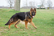 Shepherds Posters - German Shepherd Walking Poster by Sandy Keeton