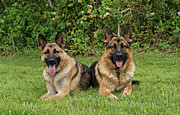 Veterinarian Art Framed Prints - German Shepherds - Mother and Son Framed Print by Sandy Keeton