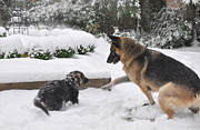 Searcy Prints - German Shepherds Playing in the Snow Print by Tanya  Searcy