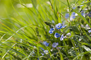 Close Focus Floral Prints - Germander Speedwell Print by Anne Gilbert