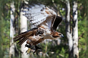 Red-tailed Hawk Posters - Geronimo  Poster by Christina Rollo