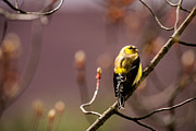 American Goldfinch Posters - Getting Ready for Breeding Poster by  Onyonet  Photo Studios