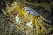 Pinchers Prints - Ghost Crab Print by Bradley Clay