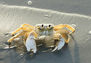 Mark Head - Ghost Crab