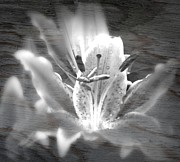 Spirits Digital Art - Ghost Flower by Amanda Eberly-Kudamik