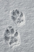 Paw Print Prints - Ghost of the North Fork Print by Sandy Sisti