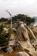 1:1 Prints - Ghost Tree Site 17 Mile Drive Print by Barbara Snyder