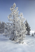 Snow Covered Trees Posters - Ghost Trees of Yellowstone Poster by Sandra Bronstein
