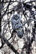 Ghostly Originals - Ghostly Barred Owl by Keith Carver