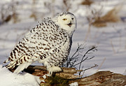 Shelley Myke Prints - Ghostly Presence- Snowy Owl Print by Inspired Nature Photography By Shelley Myke