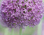 Pink Flower Prints Prints - Giant Allium Print by Bonnie Bruno