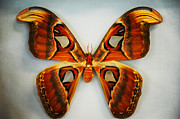 Home Design Element Framed Prints - Giant Atlas Moth Framed Print by Jenny Rainbow