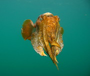 Squid Photos - Giant Cuttlefish II by Bruce J Robinson