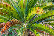 Kate Brown - Giant Cycad