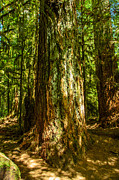 Landscape Photography Of The Year Posters - Giant Douglas Fir Trees Collection 1 Poster by Roxy Hurtubise