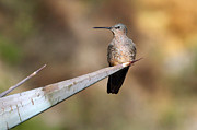 Latin America Photos - Giant Hummingbird by James Brunker