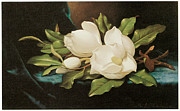Cloth Painting Posters - Giant Magnolia on a Blue Velvet Cloth Poster by Martin Johnson Heade