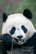 Mark Newman - Giant Panda