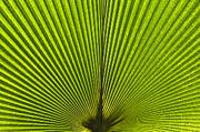 Frond Framed Prints - Giant Pritchardia Leaf Pattern Framed Print by Tim Gainey