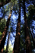 Californian Photos - Giant Redwoods California by Aidan Moran