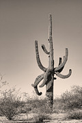 Saguaro Cactus Framed Prints - Giant Saguaro Cactus Sepia Image Framed Print by James Bo Insogna