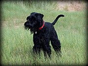 Giant Schnauzer Framed Prints - Giant Schnauzer Framed Print by Susan Tinsley