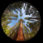 Redwoods Posters - Giant Sequoia Fisheye Poster by Jane Rix