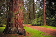 Benches Photos - Giant Sequoia or Redwood. Benmore Botanical Garden. Scotland by Jenny Rainbow